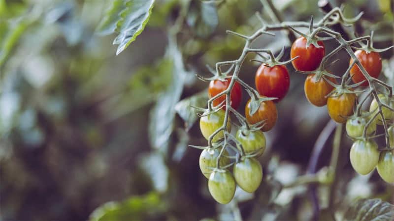 Pomidorki koktajlowe